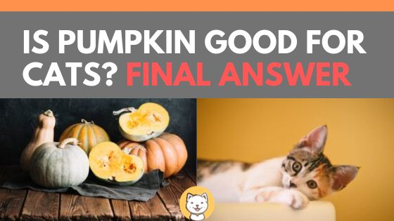 Is Pumpkin Good For Cats Final Answer Kitty Cats Blog