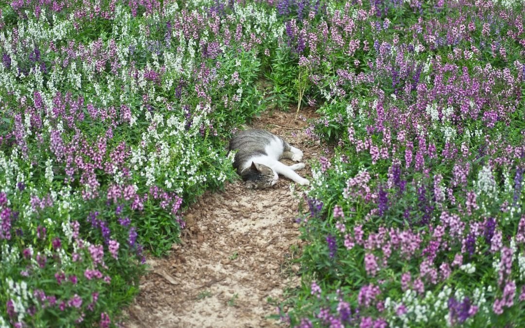 Is Lavender Safe For Cats? – Very interesting to know