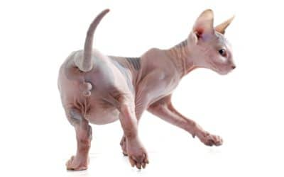What Does A Cat Penis Look Like?
