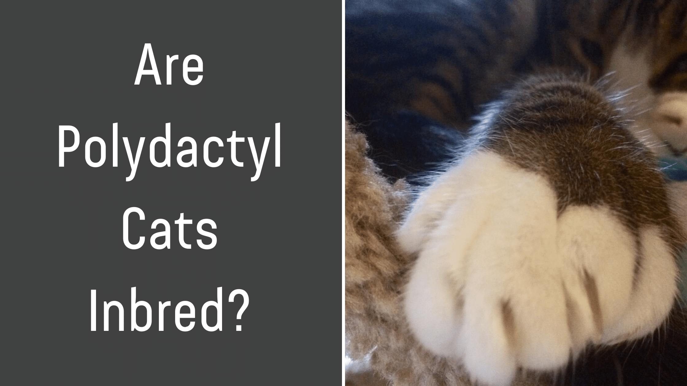 Are Polydactyl Cats Inbred Let S Explore It Kitty Cats Blog