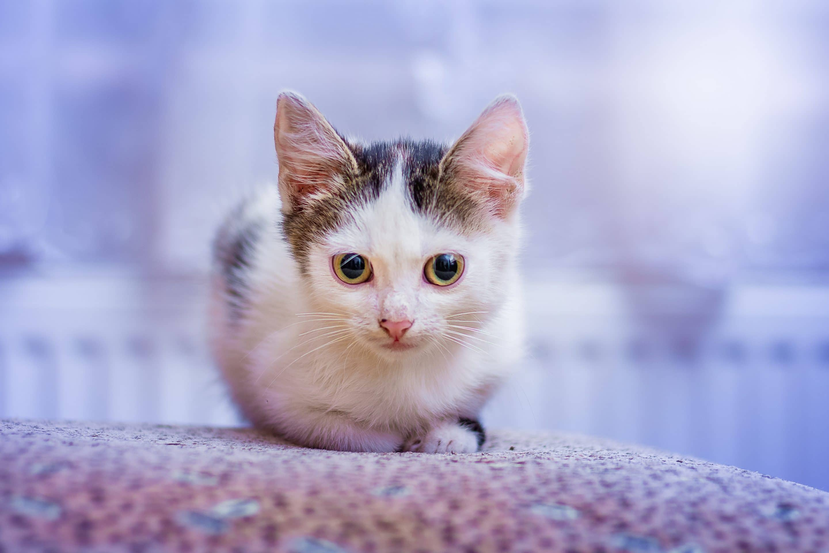What To Do About Introducing A Deaf Cat To Other Cats Kitty Cats Blog